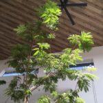 観葉植物エバーフレッシュの育て方 その生態とは!?