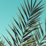 観葉植物フェニックスロベレニーを1年間屋外で育ててみた