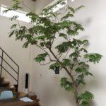 【観葉植物】エバーフレッシュを剪定してみた【大型】
