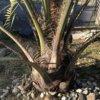 ココスヤシを地植えして1年半経ったので成長速度について考察してみる