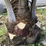 【地植え】ココスヤシを剪定してみた【ヤシの木】